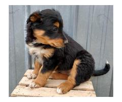 8 weeks old English shepherd Puppies for sale