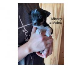 3 male Rat-Cha puppies available