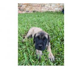 4 AKC English mastiff puppies for Sale