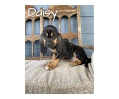 AKC registered Bloodhound puppies