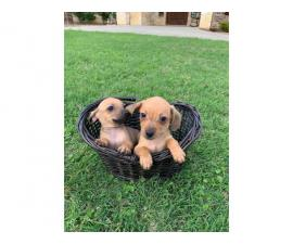 Adorable Chiweenie puppies