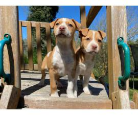 Male and female red nose pitbull puppies