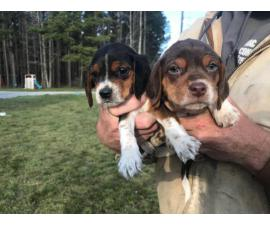5 Beagle puppies looking for new homes