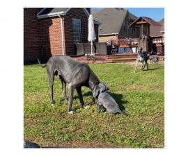 AKC Great Dane Puppies for sale