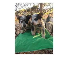 2 male Blue Heeler puppies