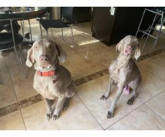 8 weeks old Purebred Weimaraner puppies