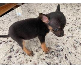 2 month old chihuahua
