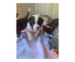 9 American Bulldog puppies for sale