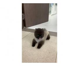 10 months old Female Pomeranian puppy for sale