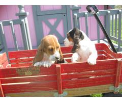 8 weeks old basset hound puppies for sale