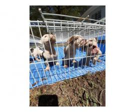 6 males and 6 females Pitbull puppies for sale