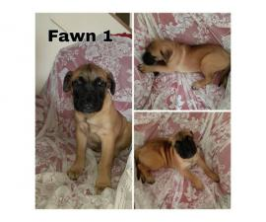 5 AKC Bullmastiff puppies for sale