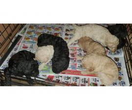 5 females and 1 male Standard poodle puppies