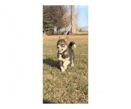 2 purebred husky puppies available
