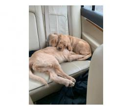 4 months old Labradoodle puppies