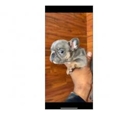 6 AKC registered Frenchie puppies for sale