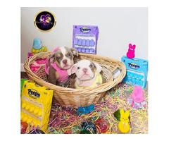 Akc Mini English Bulldog puppies