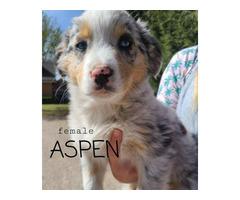 8 Australian Shepherd Puppies for sale