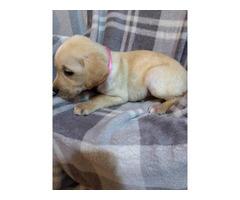5 AKC Registered lab puppies