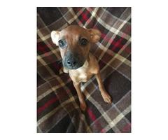 3 Miniature Pinscher Chihuahua puppies
