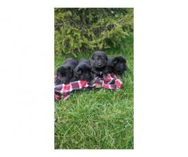 6 German shepherd puppies looking for a new home