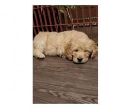 8 week old Labradoodle pups for sale