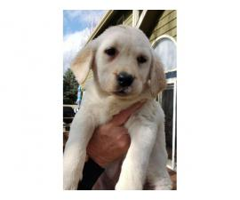 9 weeks old Purebred Yellow Lab puppies