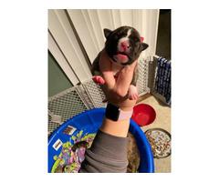 4 pitbull puppies