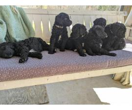 6 cute standard poodle puppies