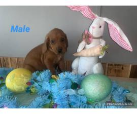 4 Redbone Coonhound puppies available