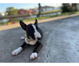 2 Bull Terrier puppies for sale