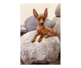 15 weeks old Min pin puppy