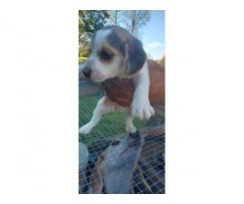2 Beagle puppies for sale