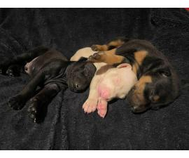 AKC Doberman 4 females 3 males