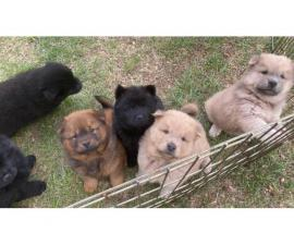 7 CKC registered Chow Chow puppies