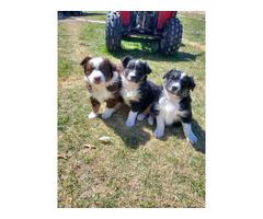 Four Australian shepherd puppies available