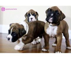 Three beautiful boxer puppies