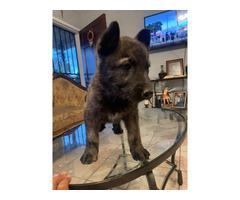 Male Dutch Shepherd puppy for sale