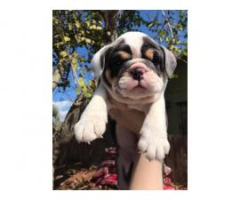 AKC Blue Tri English Bulldog Male Puppy