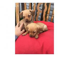 Deer-head Chihuahua puppies