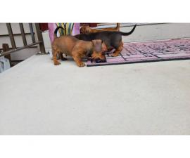 3 male Dachshund puppies for sale
