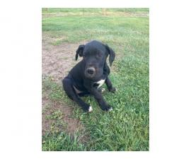 Two Great Dane puppies for sale