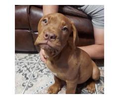 3 months old purebred Dogue de bordeauxs