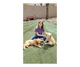 2 male Golden Doodle Puppies for sale