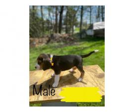 8 males and 4 females Beagle puppies
