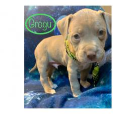 6 adorable Pitbull puppies available