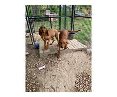 15 weeks old Redbone Coonhound puppies
