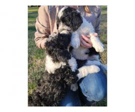 Male Sheepadoodle puppy