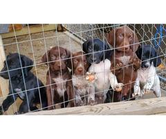 3 Purebred German shorthair pointer puppies