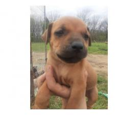 3 Pit bull mastiff puppies for sale